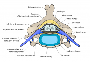 Inside of a spine